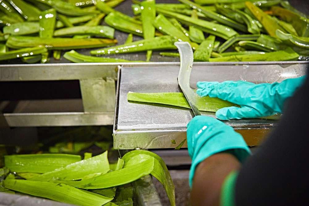 Gel est extrait des feuilles d'aloe vera