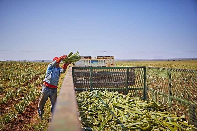 Ouvrier jette feuilles d'aloe vera dans le camion